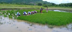 SRI proving a boon for tribal farmers in Rayagada, Odisha